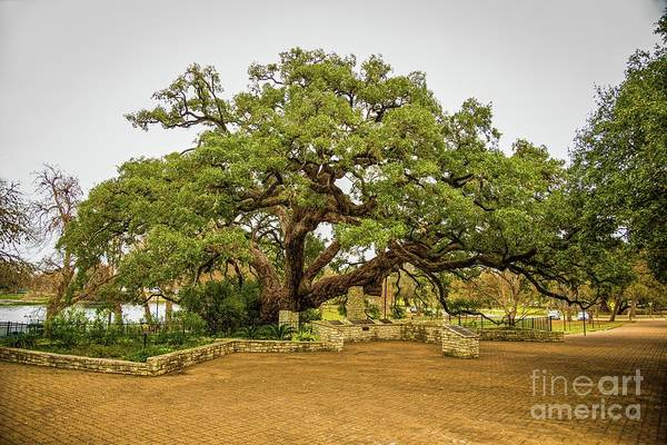 Photograph - Founders Oak by Jon Burch Photography