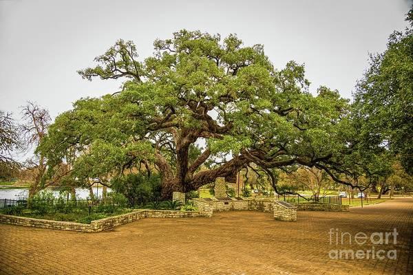 Misson Photograph - Founders Oak by Jon Burch Photography