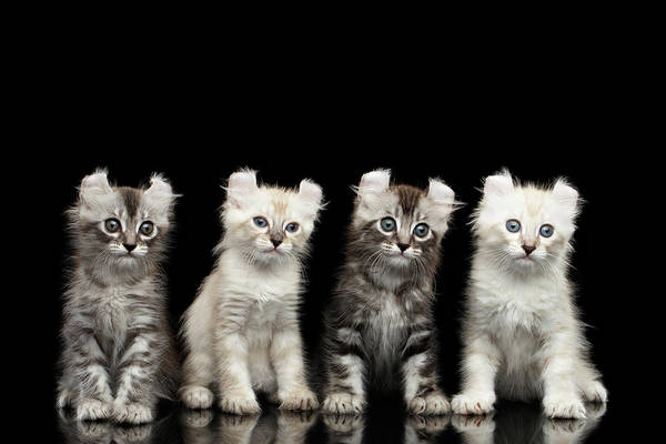 Domestic Cat Wall Art - Photograph - Four American Curl Kittens With Twisted Ears Isolated Black Background by Sergey Taran