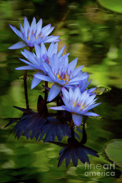 Wall Art - Photograph - Four Beautiful Blue Water Lilies by Sabrina L Ryan