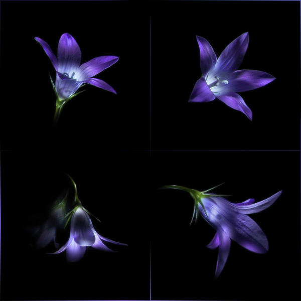 Photograph - Four Bluebell Flowers - Light Painting by Alexey Kljatov