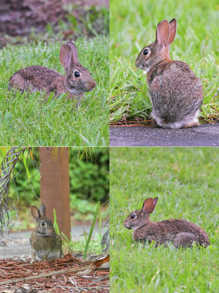 Sylvilagus Floridanus Photograph - Four Bunnies In Four Minutes by William Tasker
