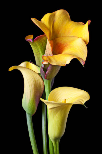 Floral Arrangement Photograph - Four Calla Lilies by Garry Gay