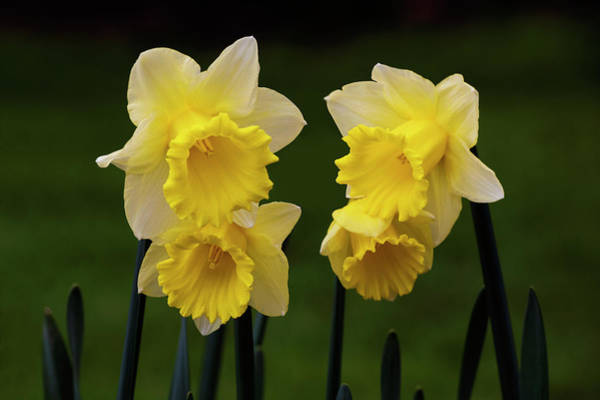 Photograph - Four Daffodils by David Lunde