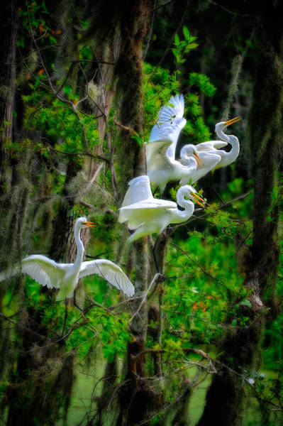 Photograph - Four Egrets by Harry Spitz