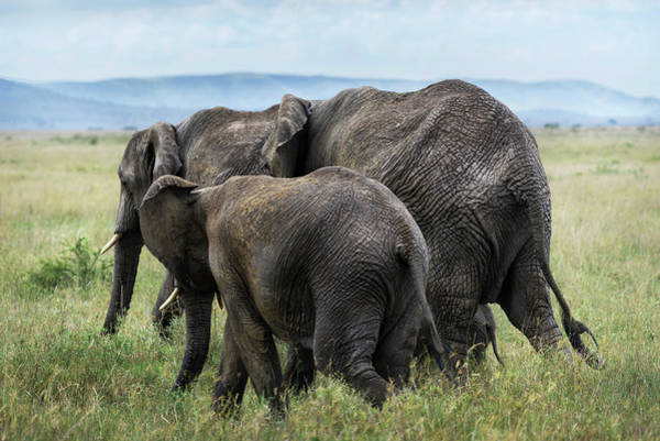 Photograph -  Four Elephants In Serengeti by RicardMN Photography
