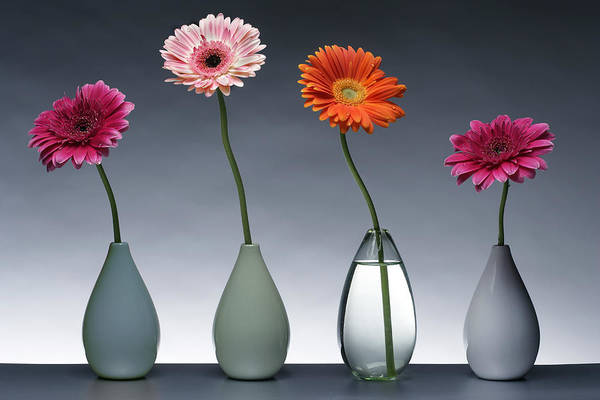 Wall Art - Photograph - Four Gerberas by MGL Meiklejohn Graphics Licensing