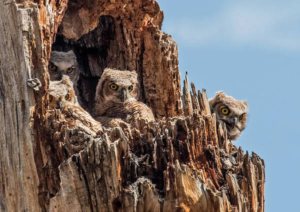 Wall Art - Photograph - Four In A Great Horned Owls Nest by Dawn Key