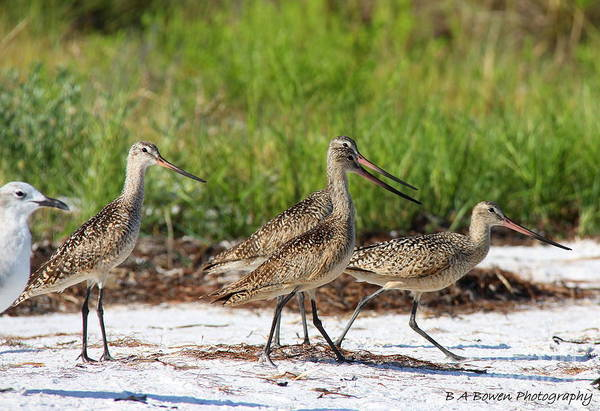Photograph - Four Marbled Godwits by Barbara Bowen