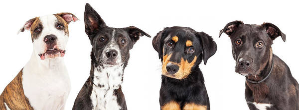 Wall Art - Photograph - Four Mixed Breed Dogs Closeup by Susan Schmitz