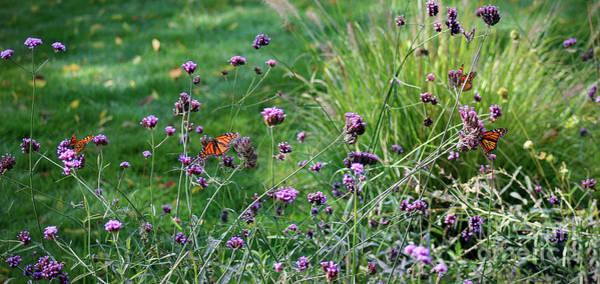 Photograph - Four Monarch Butterflies by Karen Adams