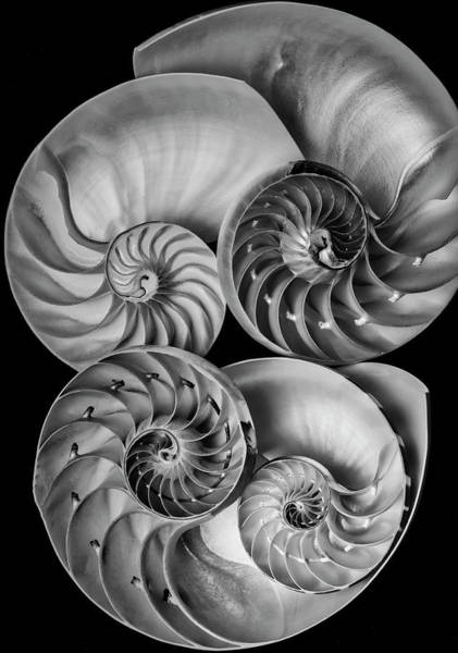 Wall Art - Photograph - Four Nautilus Shells by Garry Gay