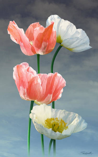 Poppies Digital Art - Four Poppy Blossoms by M Spadecaller