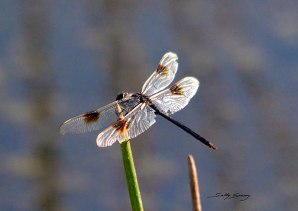 Pyrography - Four Spotted Pennant On A Reed by Sally Sperry