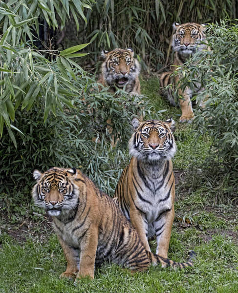 Photograph - Four Sumatran Tigers by Wes and Dotty Weber