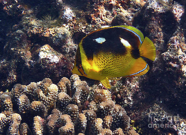 Photograph - Fourspot Butterflyfish by Bette Phelan