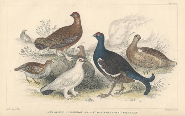 Wall Art - Drawing - Fowl by Dreyer Wildlife Print Collections