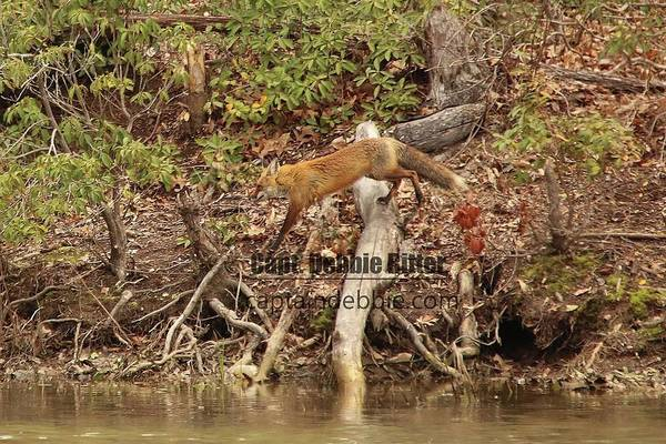 Photograph - Fox 0281 by Captain Debbie Ritter