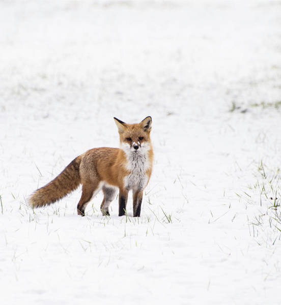 Photograph - Fox 1 by Paul Ross