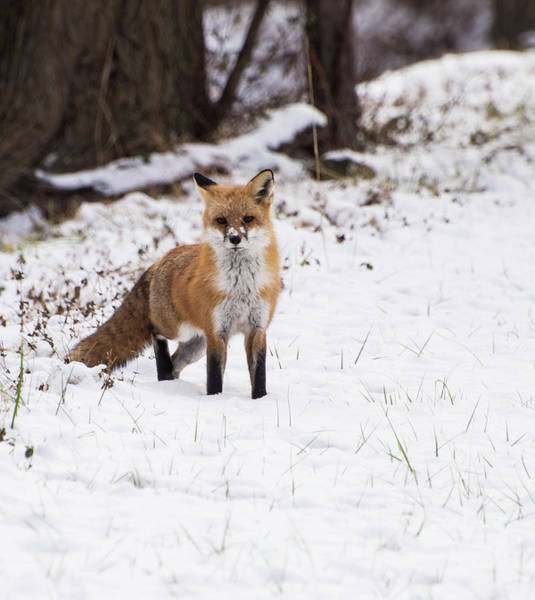 Photograph - Fox 4 by Paul Ross
