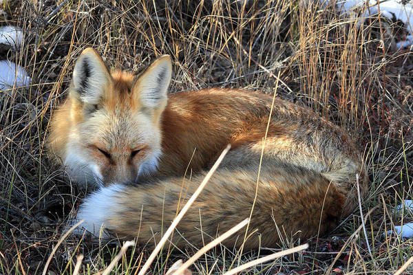 Photograph - Fox All Curled Up In Grand Teton National Park by Pierre Leclerc Photography