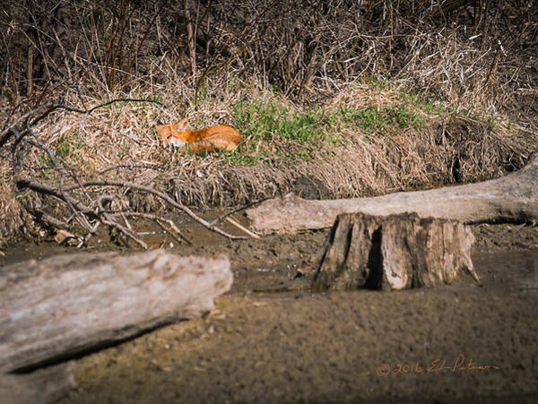 Photograph - Fox Asleep by Edward Peterson