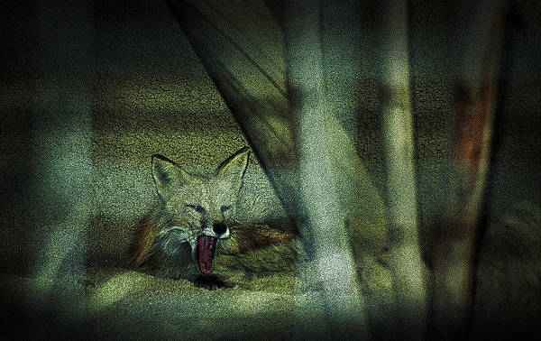 Photograph - Fox Cry by Maria Reverberi