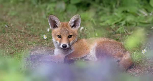 Photograph - Fox Cub Resting by Peter Walkden