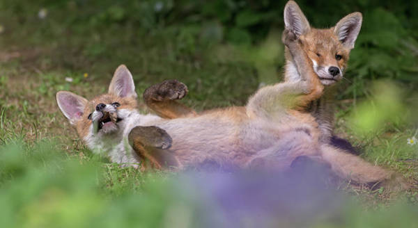 Photograph - Fox Cubs Playing by Peter Walkden