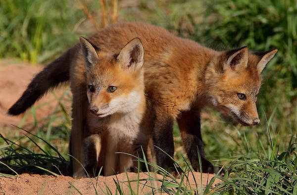 Photograph - Fox Cubs Playing by William Jobes