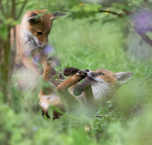 Photograph - Fox Cubs Rolling by Peter Walkden
