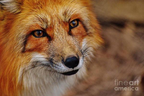 Photograph - Fox by Doc Braham