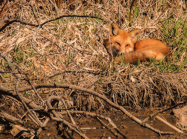 Photograph - Fox  by Edward Peterson