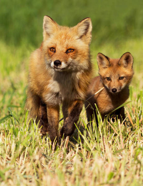 Wall Art - Photograph - Fox Family by Mircea Costina Photography