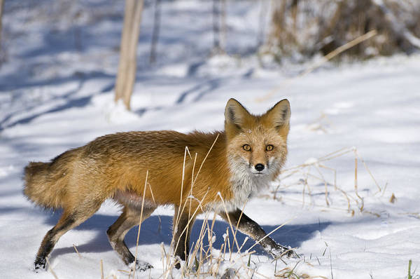 Photograph - Fox by Gary Lengyel