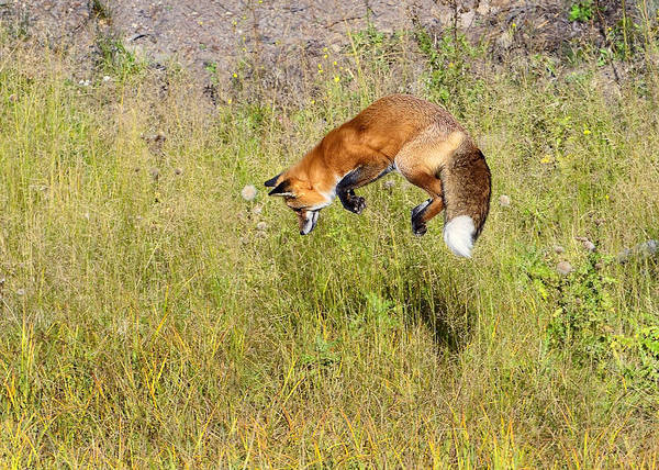 Photograph - Fox Hunt At The Top by Bill Dodsworth