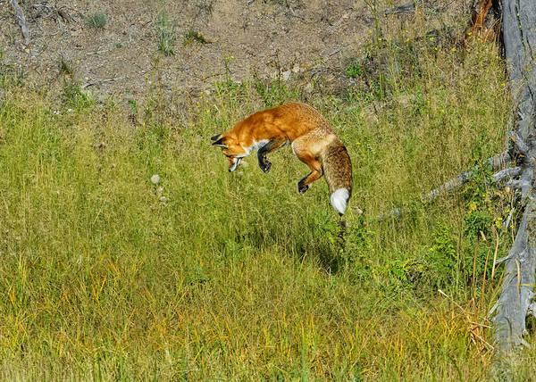 Photograph - Fox Hunt by Bill Dodsworth