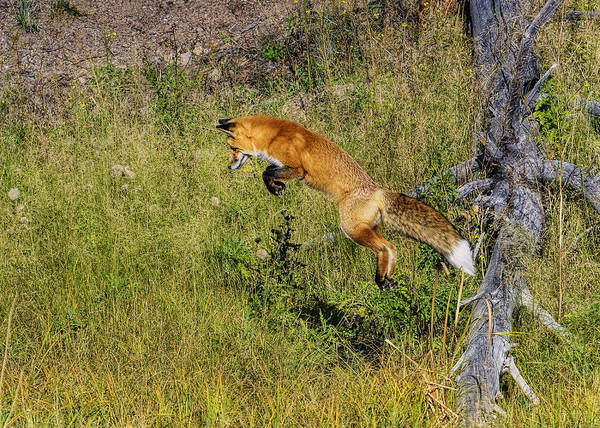 Photograph - Fox Hunt In The Air by Bill Dodsworth