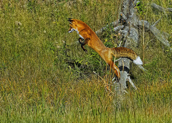 Photograph - Fox Hunt The Leap by Bill Dodsworth