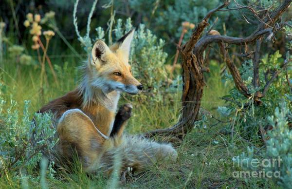 Photograph - Fox In The Brush by Adam Jewell