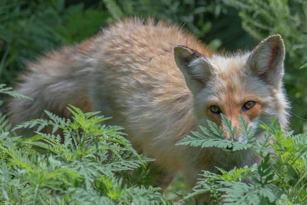 Fox In The Ferns Art Print