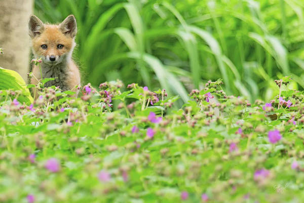 Kit Fox Photograph - Fox In The Garden by Everet Regal