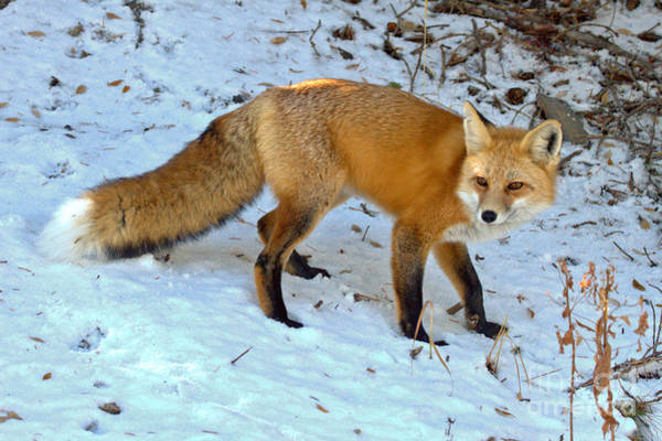 Photograph - Fox In The Snow by Adam Jewell