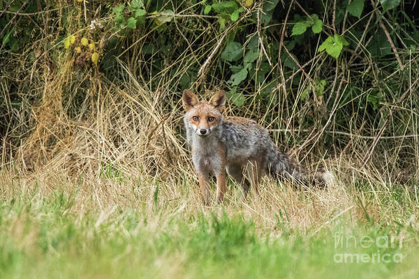 Photograph - Fox In The Woods by Fabrizio Malisan