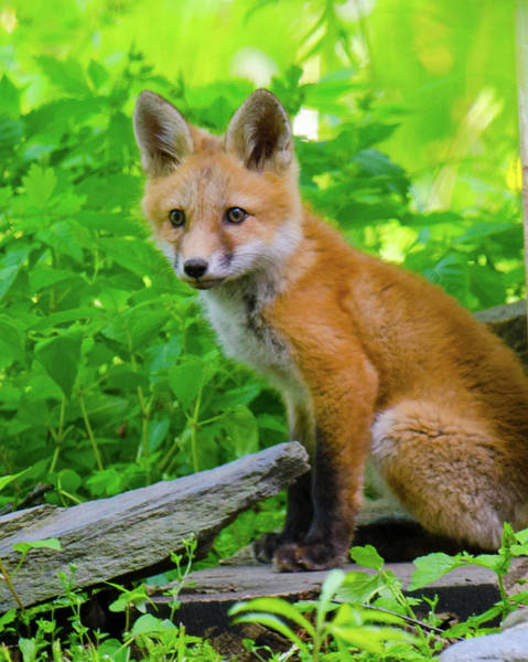 Photograph - Fox Kit - 1 by Kristin Hatt