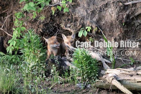 Photograph - Fox Kit 2815 by Captain Debbie Ritter