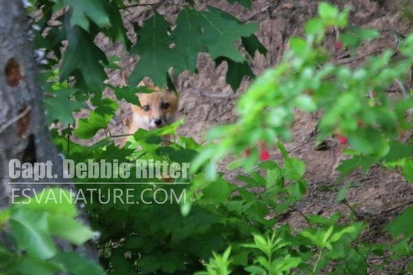 Photograph - Fox Kit 4805 by Captain Debbie Ritter
