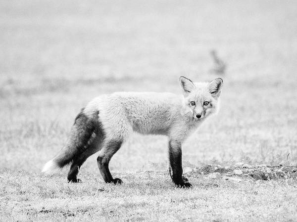 Wall Art - Photograph - Fox Kit Black And White  by Stephanie McDowell