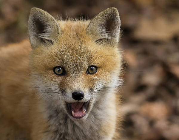 Photograph - Fox Kit Closeup by John Vose