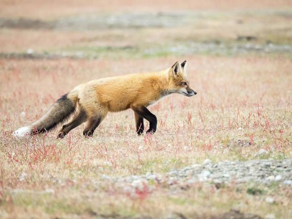 Wall Art - Photograph - Fox Kit On The Hunt by Stephanie McDowell